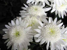 Three white chrysanthemums