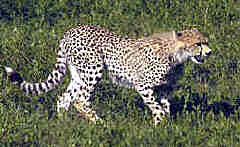 Cheetah in the Serengeti