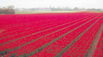 Red tulips in Holland