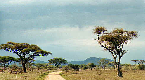 Tanzania landscape with zebras and acacias